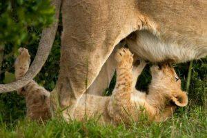 lactancia_materna leona